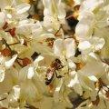 En pleine floraison des acacias, une ruche peut récolter 3 kilos de miel par jour