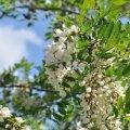 Voici de belles grappes de fleurs d'acacia pour faire les fameux beignets d'acacia : simplement délicieux ! )