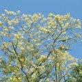 La fleur d 'Acacia est fragile: un simple orage peut mettre à terre les grappes de fleurs