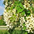 La fragilté des grappes de fleurs exposée au vent et à la pluie rend la miellée d'acacia très aléatoire