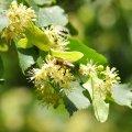 La fleur de tilleul embaume l'atmosphere au mois de juin on peut la récolter et la faire sécher pour les tisanes