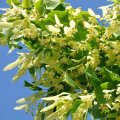 Une branche de tilleul en pleine floraison