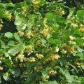 l'abondance de la floraison du tilleul: des milliers de fleurs au cm2