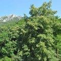 Un tilleul a petites feuilles dans la haute vallée de l'Aude