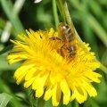 La miellée de pissenlit peut être très violente en montagne et provoquer l'essaimage des colonies