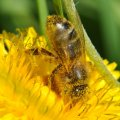 Les abeilles ramassent également beaucoup de pollen sur les fleurs de pissenlit