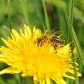 L abeille butine volontiers les fleurs de pissenlit