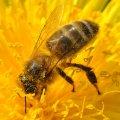 le pollen est abondant sur la fleur de pissenlit
