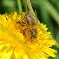 L'abeille , en disséminant le pollen d'une fleur à l'autre, contribue directement à la reproduction des espèces végétales