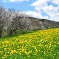 Un paturage dans la haute vallée de l'aude couvert de pissenlits en fleurs au mois de mars