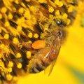 l'abeille est le pollinisateur d 'exellence pour le tournesol