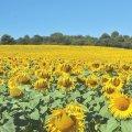 Un champ de Tournesol dans le Lauragais: des fleurs à perte de vue !