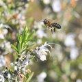 Le romarin est une plante tres méllifère, il peut fleurir de septembre à mars