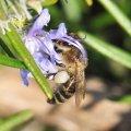 Le romarin est également un grand pourvoyeur de pollen
