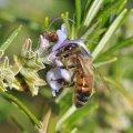 Le romarin fourni un nectar abondant et concentré