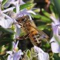 Quoi de plus beau qu'une abeille sur une fleur ?