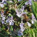 Le romarin est un arbrisseau pouvant atteindre 1.50 , Son odeur très aromatique est caractéristique