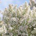 La bruyère Blanche est une plante typique du pourtour Méditérranéen