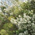 La Bruyère blanche est un grand buisson ligneux qui peut atteindre couramment 3 m de hauteur.