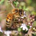 le Thym tres prisé par les abeilles