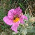 Le pollen du ciste cotonneux est très apprécié par les abeilles
