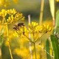Bupleurum Honey