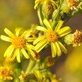 la fleur d' Inule ressemble à une petite paquerette