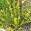 Inula viscosa honig