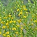 les premieres fleurs d'Inule visqueuse apparaissent dès la fin du mois d'aout