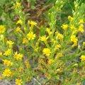 la floraison peut durer 3 à 4 semaines