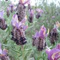 Les fleurs de forme cylindrique sont disposées en épis