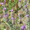 les fleurs de lavande maritime dégagent une odeur très forte caractéristique rappelant l'essence de térébenthine