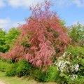 Le Tamaris une plante ornementale