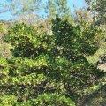 l'arbousier peut atteindre trois mètres de hauteur