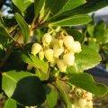 l'arbousier fleurit dans la garrigue au mois de novembre
