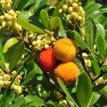 la fleur d arbousier vient au même moment que le fruit