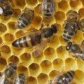 Reine d'abeille