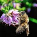 La callune produit peu de nectar mais à la fin de l'été c'est une source quasi unique pour les abeilles en montagne