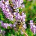 Une fleur d arrière saison tres attractive pour les abeilles