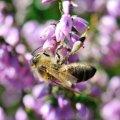 Le Pollen de bruyère constitue à l'automne un apport non négligeable pour la colonie en stimulant la ponte de la rei
