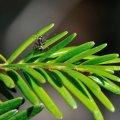 fourmi butinant le miellat sur un rameau de sapin