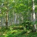La foret de Sapin blanc des Pyrénées orientales (Pectiné)