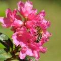 Une fleur de Rhododendron