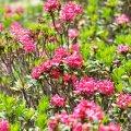Il existe de nombreuses variétés de Rhododendron, celle qui est présente dans les Pyrénées n'est pas toxique pour les abeilles