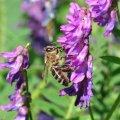 La Vesse est une des plantes de montagne les plus visitées par les abeilles
