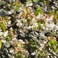 Le merisier sauvage est une ressource printanière non négligeable pour les abeilles