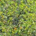 Buckthorn Honey