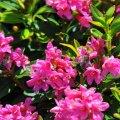 En pleine floraison on y trouve de nombreuses abeilles