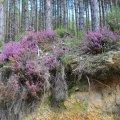 On trouve la bruyère Erica dans les sous-bois Pyrénéens