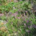La bruyère Erica fleurit tout au long du mois de juillet